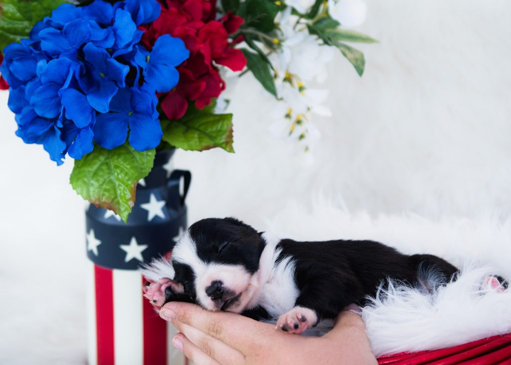 An adorable black and white border collie puppy for sale in St. Louis.