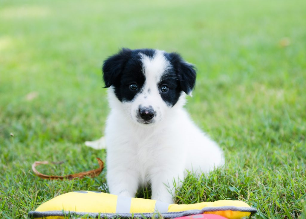 A white and black Border Collie Puppy for sale in Arkansas.