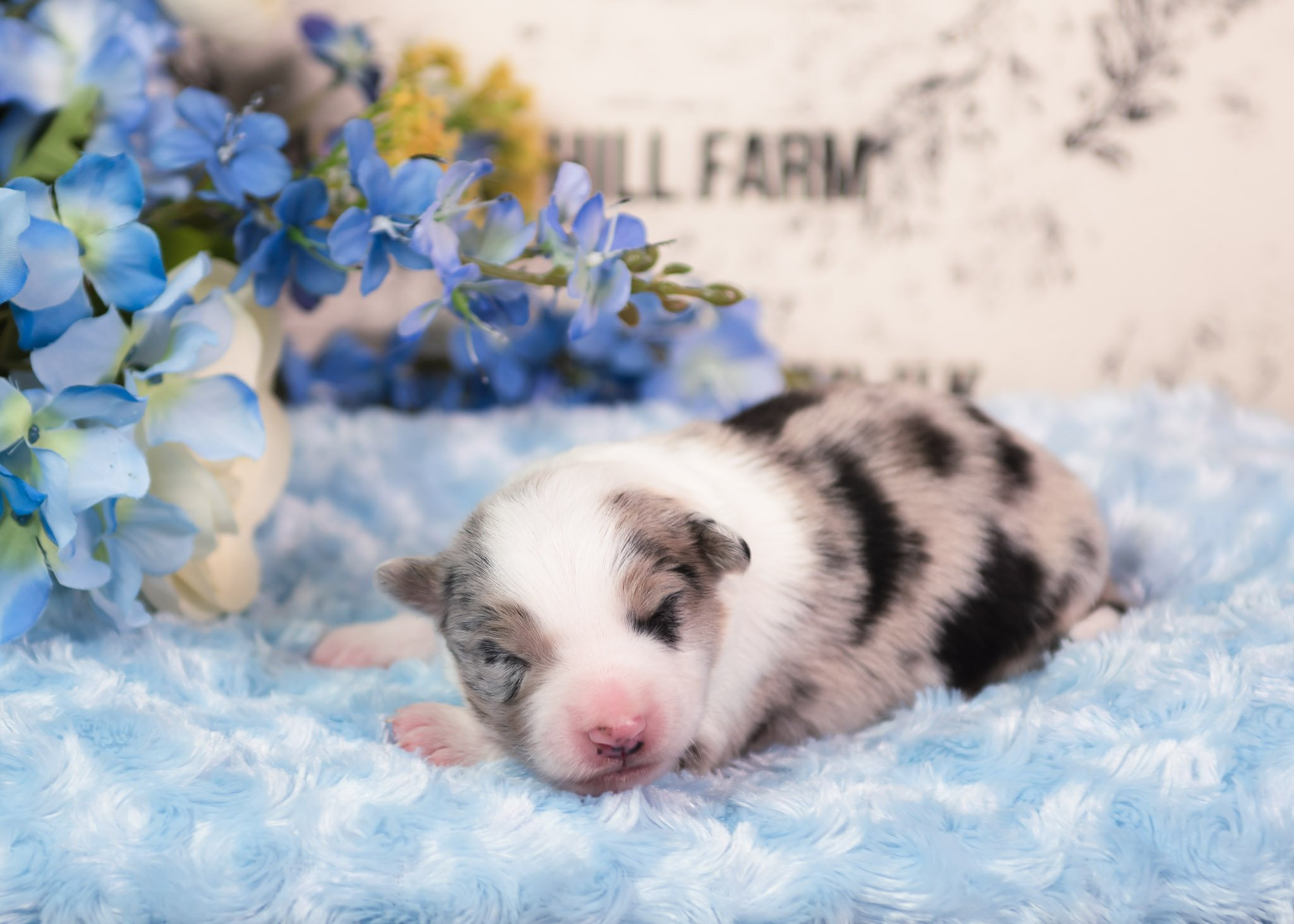 A blue merle male Border Collie puppy.