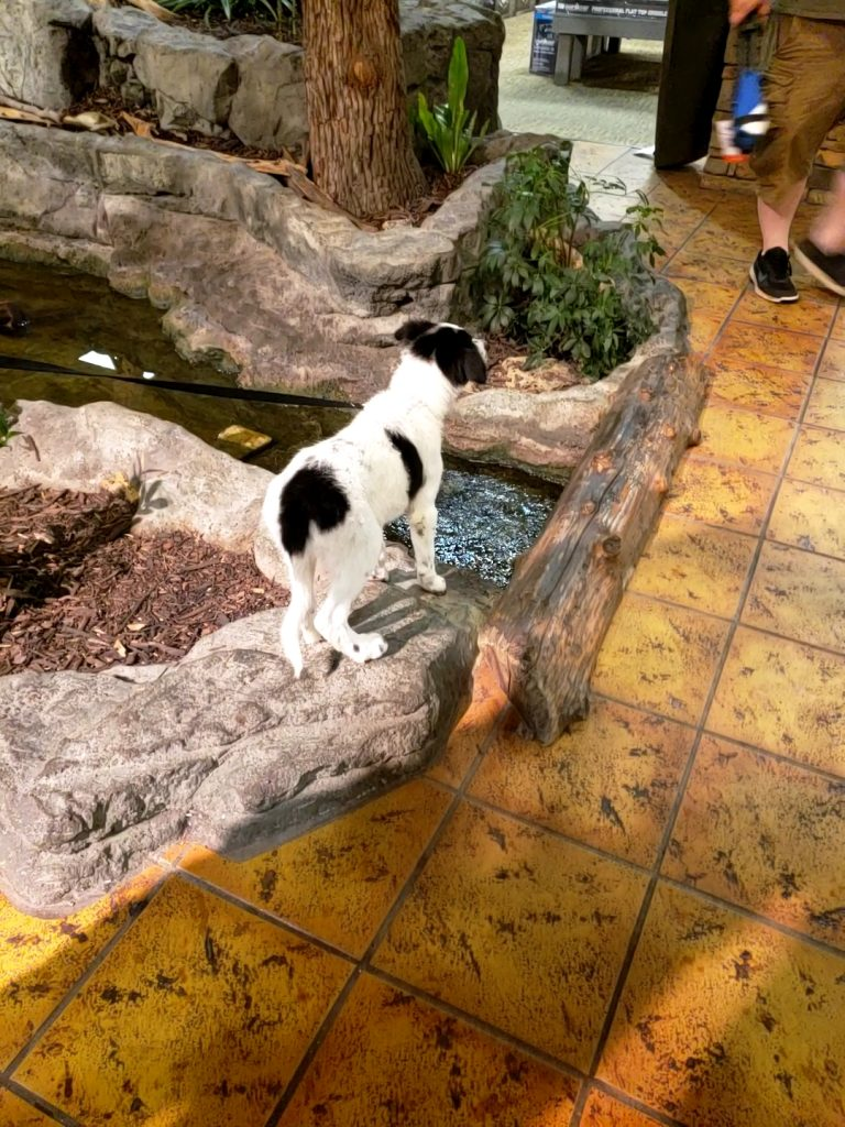 A white and black Border Collie puppy exploring the water in Bass Pro.