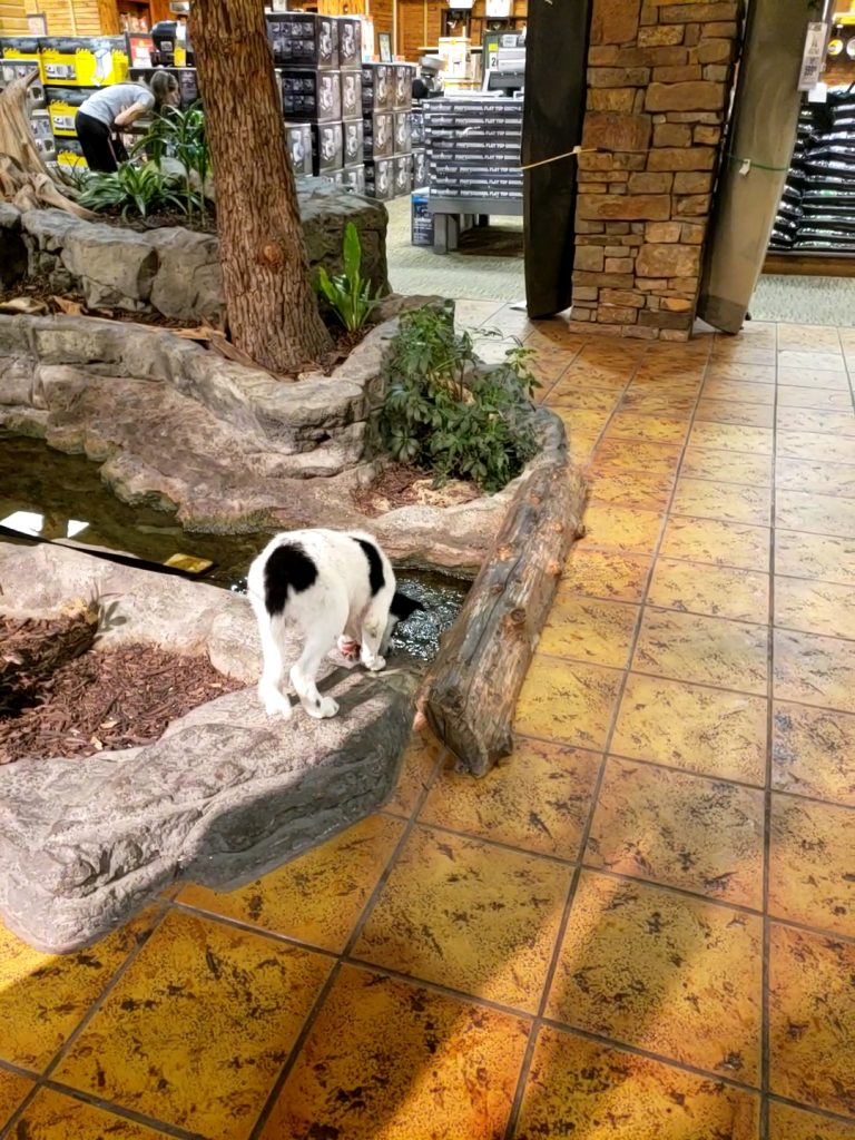 A white and black Border Collie puppy investigating a stream inside of Bass Pro Shops.