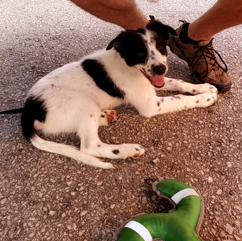 A black and white Border Collie puppy sits at an outdoor restaurant patio.