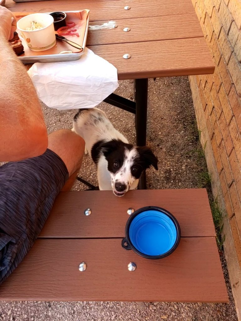 A black and white Border Collie puppy at a restaurant.